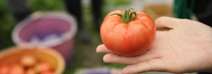 找回水果最初的滋味|采紅番茄農場