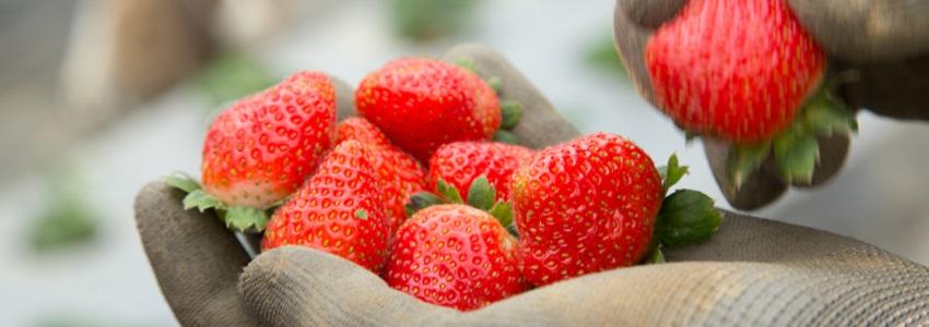 牛媽媽有機草莓 小農故事