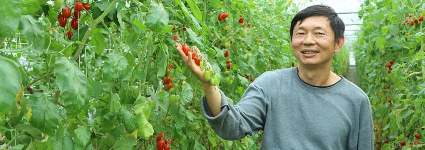 番茄有著果劑得怎麼看|特瑪多農園